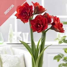 bulbsdirect fresh flower bulbs and perennial plants direct from