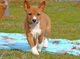 Basenji Shedding Puppy Coat by Small Dog Breeds That Don U0027t Shed Best Large Breed Puppy Food Guide