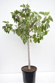 feigenbaum ficus carica brown turkey gesamthöhe 160 180