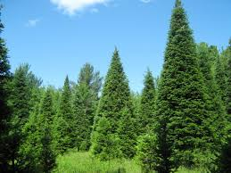 Christmas Tree Types Usa by The Five Most Popular Christmas Trees U2022 Arbor Day Blog