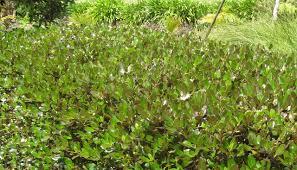 Good Plants For Bathrooms Nz by Top Ten Hedges Mitre 10