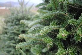 Silvertip Fir Christmas Tree Artificial by Ten Reasons To Get A Fresh Cut Christmas Tree This Year Bucks