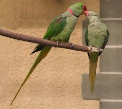 Parrot Caught Singing Bodies Hit The Floor by Alexandrine Parakeet Wikipedia