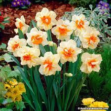 daffodil bulbs fashion narcissus american