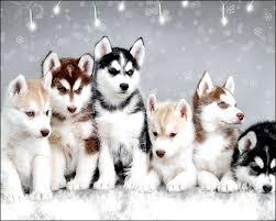 Do Pomskies Shed Fur by Best 25 Pomeranian Husky Puppies Ideas On Pinterest Pomsky