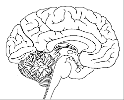 Neuroanatomy Coloring Book Brain Page School Pages The Human