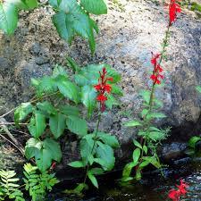 Cardinal Flower New Hampshire Garden Solutions