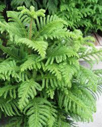 Types Of Christmas Tree Leaves by Norfolk Island Pine Bonsai Trees