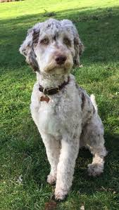Do F1 Aussiedoodles Shed by Male Labradoodle Breeders Colorful Doodles Pinterest
