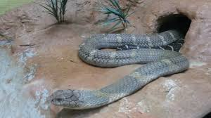 Snake Skin Shedding Lucky by Ssssssssssssssnake Farm U2013 Beyond Khao San Road