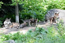 Brookfield Zoo Halloween Activities by Brookfield Zoo Holds Naming Contest For Baby Wolves Wgn Tv
