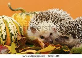 Porcupine Eats Pumpkin by Cute Hedgehog Baby Autumn Leaves Halloween Stock Photo 221618704