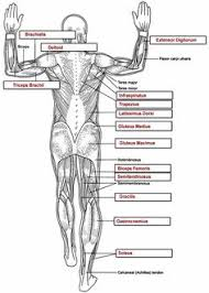 FREE Anatomy Coloring Book On Googlecollege See More Muscles Key
