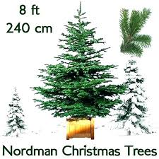 8 Foot Christmas Tree Ft Real Trees Fir Grade 1 Freshly Cut