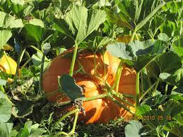 Connecticut Field Pumpkin by A Field Of White Flowers Jones Family Farmer U0027s Blog