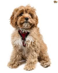 Large Non Shedding Dogs List by The Top 5 Most Popular Cross Breed Or Hybrid Dog Breeds In The Uk