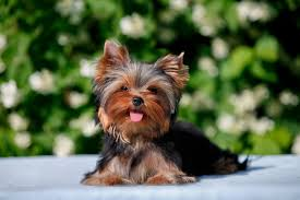 Why Do Puggles Shed So Much by 4 Things To Know About Yorkie Puppies Greenfield Puppies