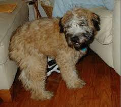 Do Wheaten Terrier Dogs Shed by Soft Coated Wheaten Terrier Dog Named Buddy I Love This Dog