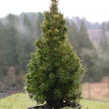 Christmas Trees Types by Living Christmas Trees Roger U0027s Gardens