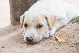 Feeding Dog Pumpkin Constipation by Long Term In Dogs Symptoms Causes Diagnosis Treatment