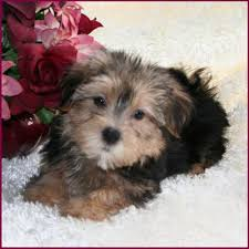 Morkies Do They Shed by Morkie Yorktese Yorkie Maltese Puppies For Sale Iowa