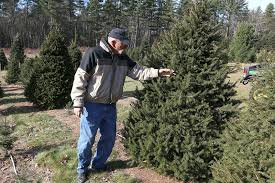 Balsam Christmas Tree Care by Tree Experts Choose Wisely Care For It Slideshow Sentinel