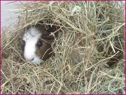 best 25 shaved guinea pigs ideas on pinterest guinea pig house
