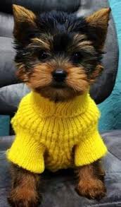 Small Dogs That Dont Shed image result for miniature dog breeds that don u0027t shed dog