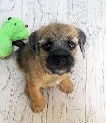 best 25 border terrier puppy ideas on pinterest border terrier