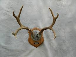 showpiece taxidermy deer elk european skull mounts