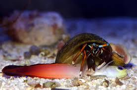 Decorator Crab Tank Mates by Aquarium Invertebrates Crabs In The Marine Aquarium Advanced