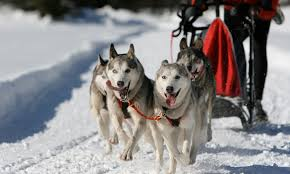 Mammoth Dog Beds by Mammoth Mountain California Dog Sledding Dog Sled Tours Alltrips