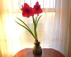 amaryllis bulb amaryllis bulbs and water amaryllis glass bulb vase