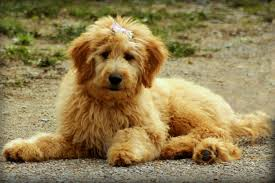 Big Dogs That Dont Shed Badly by What Is The Best Dog Food For A Goldendoodle Dog Food Guru