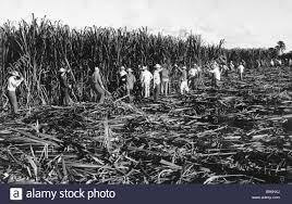 Sugar Cane Harvest In Cuba