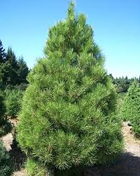 Santa Cruz Ca Christmas Tree Farms by Crest Ranch Christmas Tree Farm Santa Cruz California Bay Area
