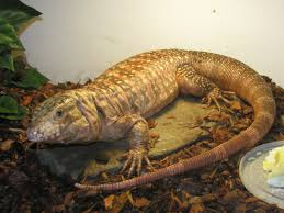 Improper Shedding Bearded Dragon by Rescue Spotlight North Bay Tegu And Monitor Rescue