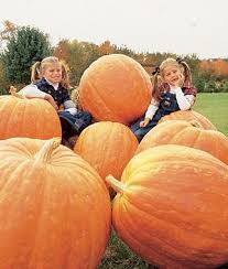 Grims Greenhouse Pumpkin Patch by Best 25 Giant Pumpkin Ideas On Pinterest Diy Halloween Vines