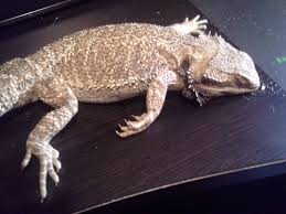 Bearded Dragon Heat Lamp Went Out by Sick Bearded Dragon U2022 Bearded Dragon Org