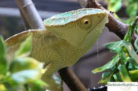 Crested Gecko Shedding Behavior by Lizards Archives Page 5 Of 7 Backwater Reptiles Blog