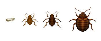Bed Bug Basics