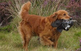Chesapeake Bay Retriever Vs Lab Shedding by Retrievers Is It Time To Change Your Labrador The Field
