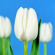 buy triumph tulips white 25 bulbs or buy in bulk