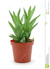 best pot for aloe vera plant 87 fascinating ideas on stock image
