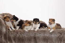 Do Blue Heeler Border Collies Shed by Collie Dog Breed Information Pictures Characteristics U0026 Facts