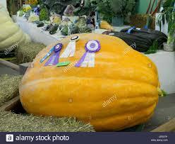 Worlds Heaviest Pumpkin In Kg by Giant Pumpkin Competition Stock Photos U0026 Giant Pumpkin Competition