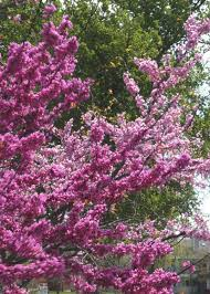 Oklahoma Redbud Was Selected For Its Burgundy Flowers And Later In The Season