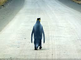 penguin is spotted waddling along a road in the falklands after