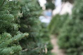 Balsam Hill Christmas Trees For Sale by Christmas Trees U2014 Tanaka Farms