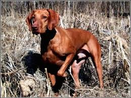 When Do Vizslas Shed Their Puppy Coat by Vizsla Dog Breed Information And Pictures